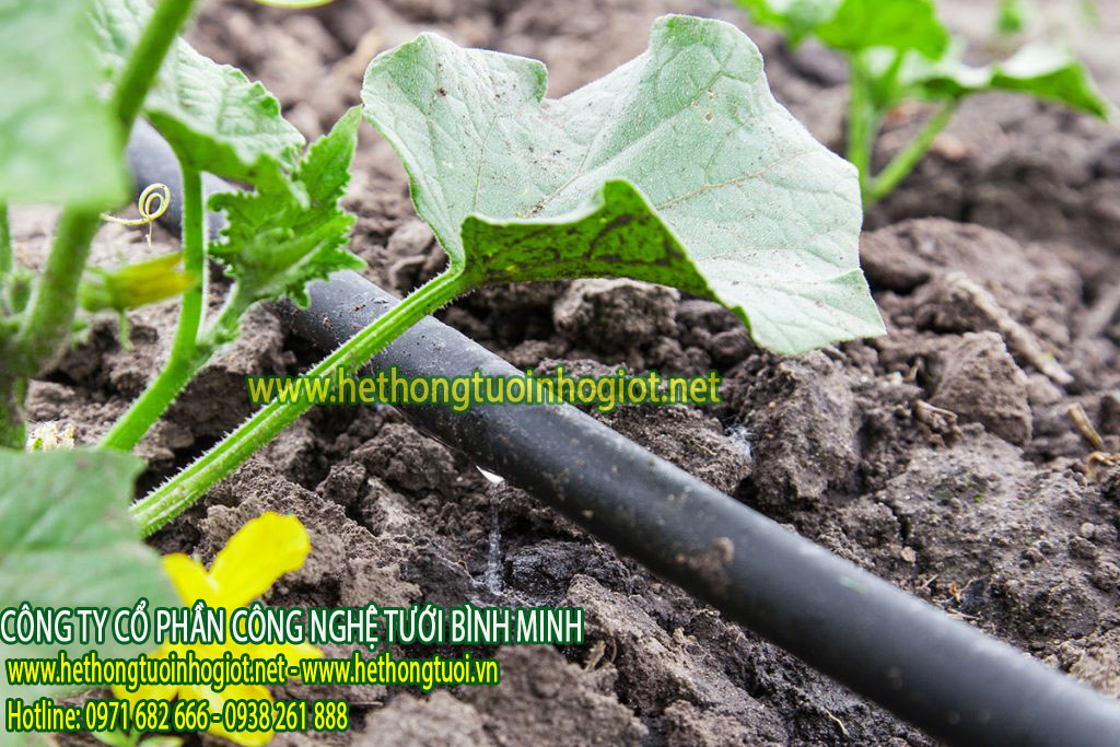 Tưới nhỏ giọt – Giải pháp công nghệ cao trong nông nghiệp